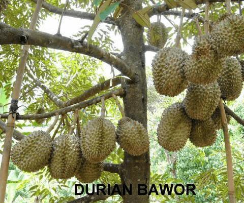 Budidaya Durian Bhineka Bawor