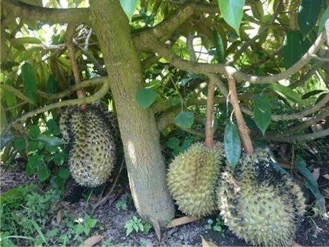 Cara Budidaya Durian Duri Hitam Dongkelan Tabulampot Durian Duri Hitam Dongkelan