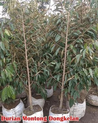 Jual Bibit Durian Monthong Dongkelan 100 cm