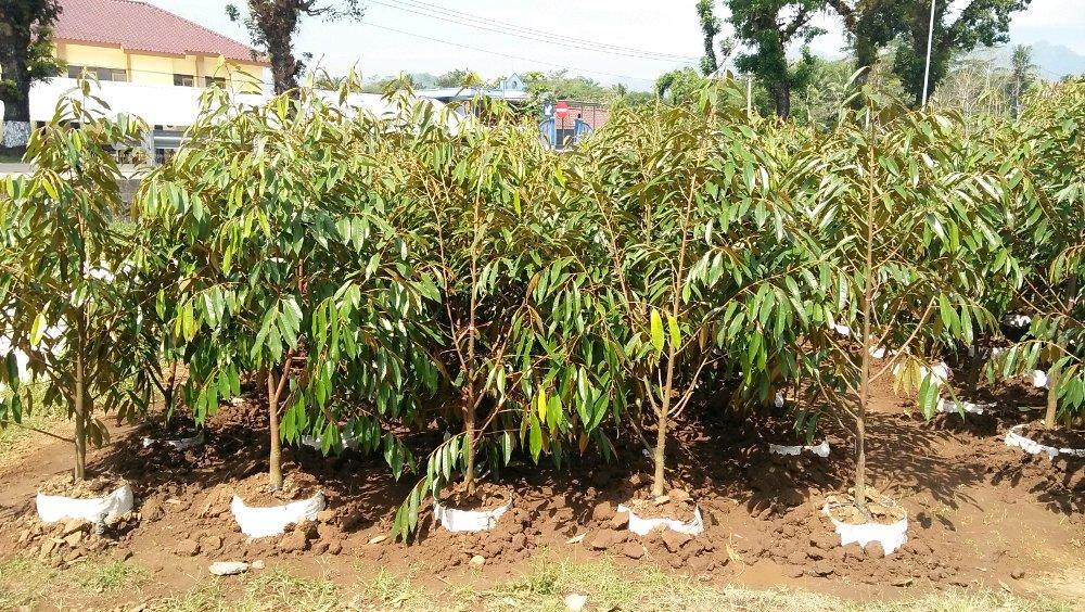 Jual Bibit Durian Musang King (Musangking) Dongkelan 100 cm